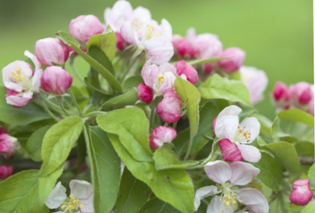 Apple Blossom Time Trial
